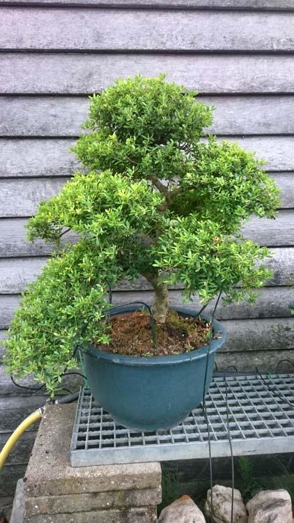 Bonsai Voor Binnen.Bonsai Kwekerij Roos